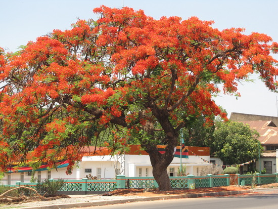 flamboyant tree2